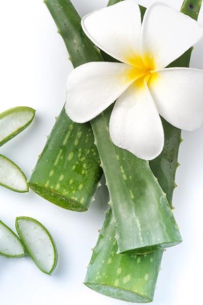 Weisse Blume auf Aloevera